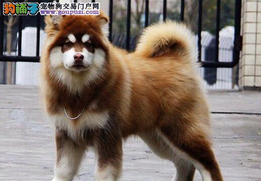 十字脸的南昌阿拉斯加犬找新主人 可训练成雪橇犬图片