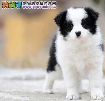 赛级品质的太原边境牧羊犬找新家 实物拍摄