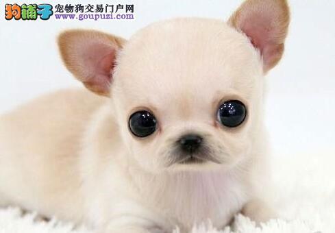 权威机构认证犬舍 专业培育吉娃娃幼犬签订终身纯种健康协议