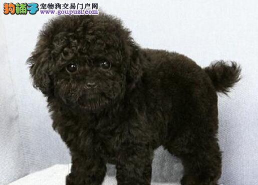 南昌犬舍直销多种颜色的泰迪犬 终身免费售后服务1