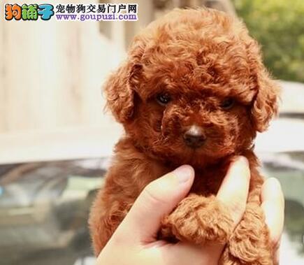 南昌犬舍直销多种颜色的泰迪犬 终身免费售后服务2