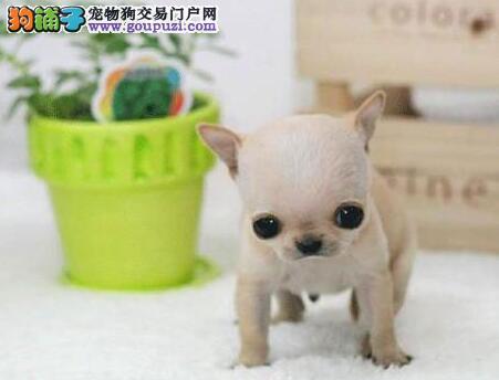 成都CKU认证犬舍出售高品质吉娃娃爱狗人士优先