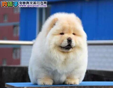 出售漂亮可爱的松狮幼犬出售那 欢迎上门选购