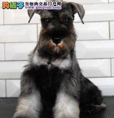 衢州椒盐色雪纳瑞犬出售纯种健康签协议可见父母小雪