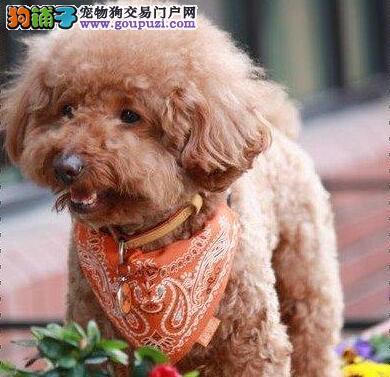 血统纯正多种颜色的贵阳贵宾犬找新家 售后三包