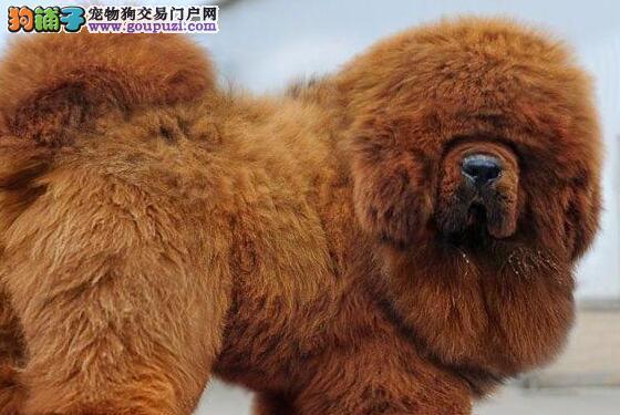 大狮头大骨量的藏獒幼崽找新家 贵阳市内免费送货