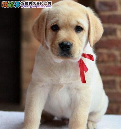 咸阳大头版精品拉布拉多导盲犬出售血统纯正可签协议