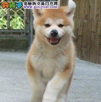 犬舍直销品种纯正健康秋田犬我们承诺售后三包