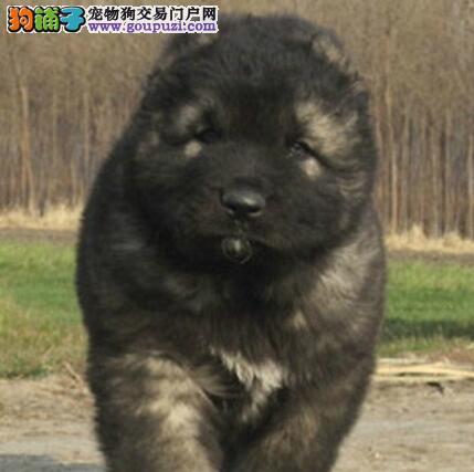 养殖场促销大骨架健康青岛高加索犬证书齐全