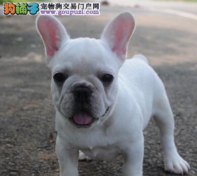 福州自家狗场繁殖直销法国斗牛犬幼犬可以送货上门4