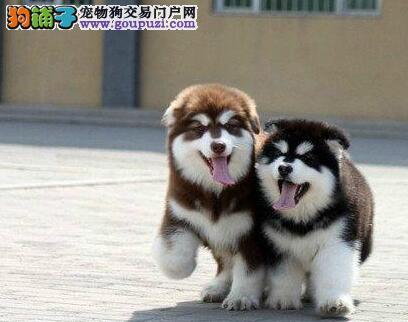 深圳双血统阿拉斯加犬包纯种健康签协议送用品可优惠