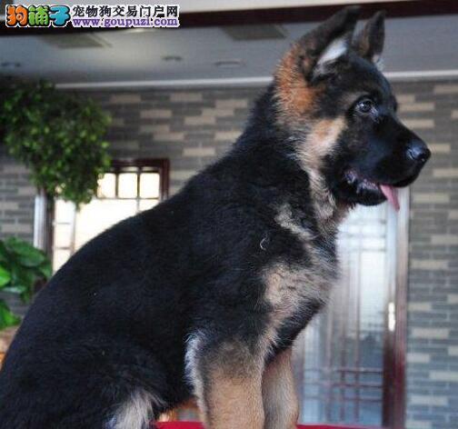 哈尔滨地区出售纯种德国牧羊犬 欢迎来犬舍购买有优惠