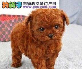火爆出售韩系血统泰迪犬 昆明市内可免费送狗上门