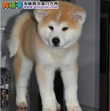 欢迎来上海犬舍直接购买纯种秋田犬 价格低品质高