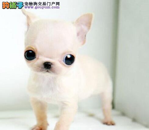 基地售纯种绍兴吉娃娃幼犬 加微信可开视频看狗