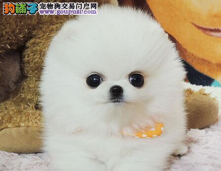 包成活签协议 健康质保 博美幼犬天津犬舍专业繁殖出售