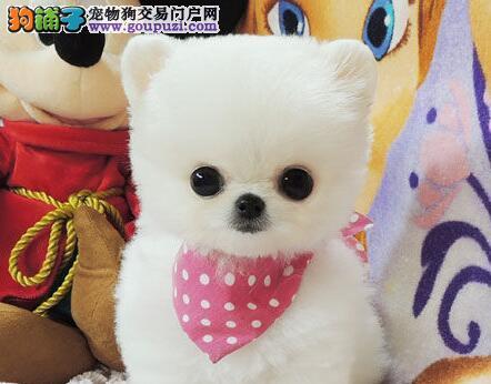 京津翼免费送货 加微信看视频 博美犬纯种健康保终身