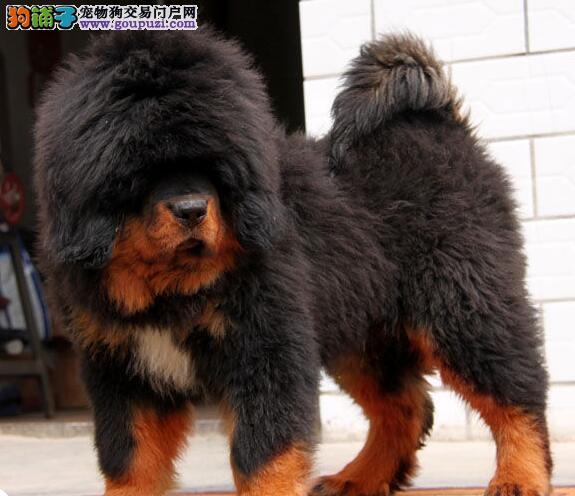 北京售卖王者气质高大威猛狮头 虎头 铁包金 藏獒幼犬图片
