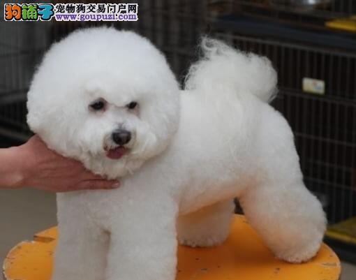 出售可爱纯种棉花糖雪白南宁比熊幼犬 毛量大品相佳