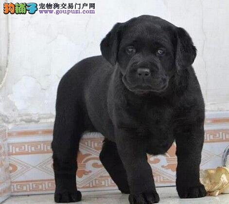 兰州自家狗场繁殖直销拉布拉多幼犬全国十佳犬舍