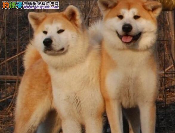 赛级品质完美品相的泉州秋田犬找新家 谢绝狗贩子