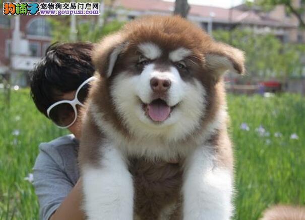 正规阿拉斯加养殖场出售纯种阿拉幼犬 终生质保