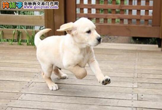 家养极品南昌拉布拉多犬转让公母都有保健康4