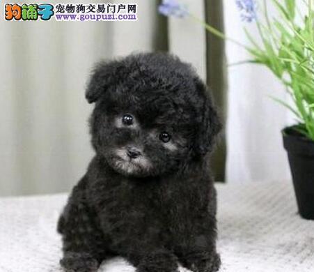 出售泰迪犬颜色齐全公母都有喜欢的别错过1