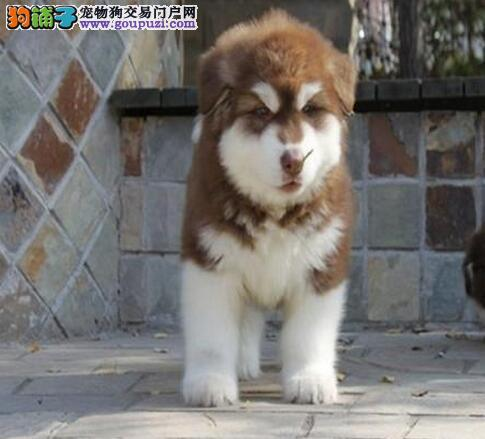 阿拉斯加雪橇犬纯种家养十字桃脸黑灰红色宠物赛级