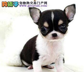 深圳售大眼甜美吉娃娃幼犬吉花花公母全有欢迎选购