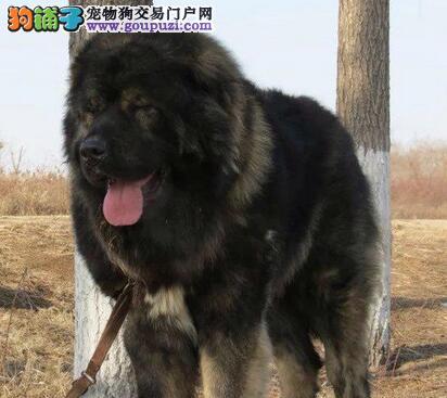 楚雄纯种健康熊版巨型高加索犬 疫苗证书齐全 信誉第一