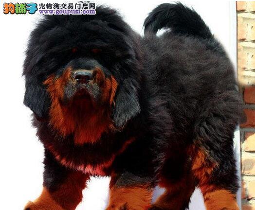 广州大狮头藏獒犬 红獒铁包金藏獒 高大威猛 看家护院