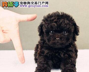 转让韩系小体沈阳泰迪犬 定时驱虫公母全都有保证健康