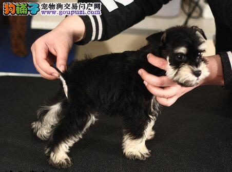 连云港买赛级品质雪纳瑞幼犬价格美丽犬舍直销实物拍摄