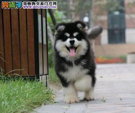 金华纯种十字脸阿拉斯加幼犬健康可爱品质有保疫苗齐全