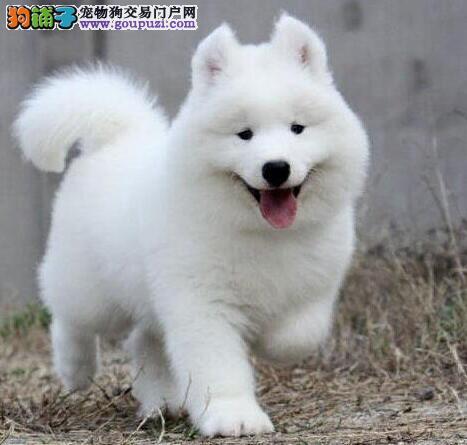 汕头名犬基地出售高品质厚毛量萨摩耶宝宝 欲购从速