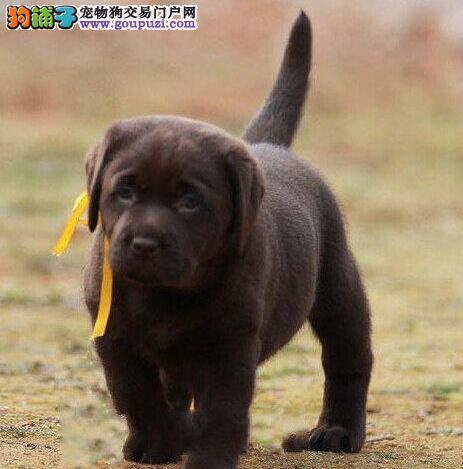 西安市出售拉布拉多犬 可视频看狗 导盲犬伴侣犬 聪明