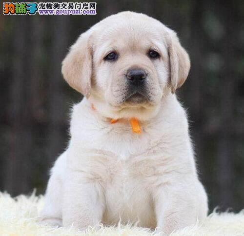 聪明听话的汕头拉布拉多犬待售中 喜欢的朋友不要错过