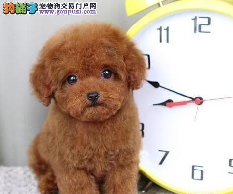 春节特价出售淄博泰迪犬 全部实物拍摄 放心选购1