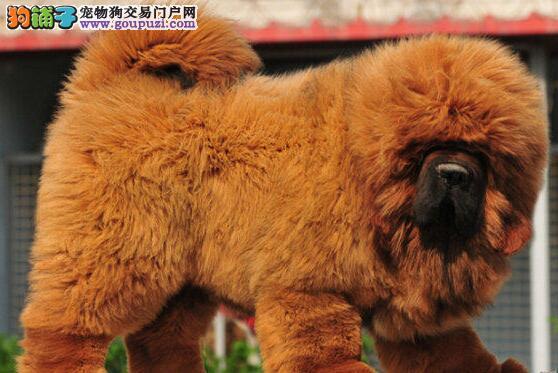 天津最大犬舍出售多种颜色藏獒期待您的来电咨询