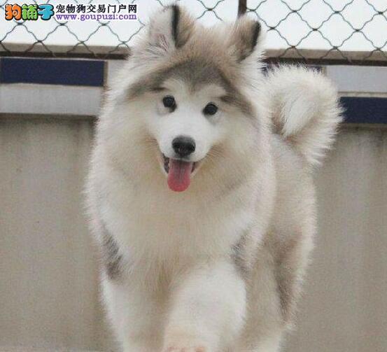 出售纯种健康的吉安阿拉斯加犬幼犬加微信送用品1