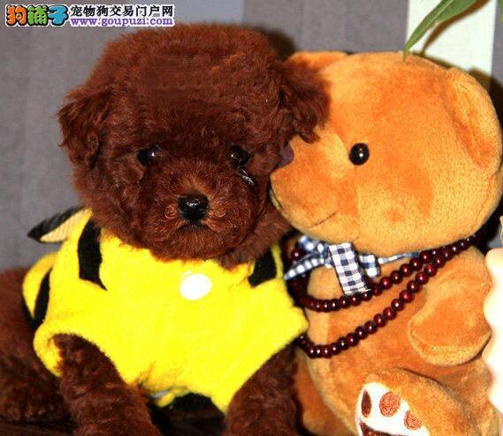 狗场直销长沙泰迪犬 纯正韩系血统多只购买优惠