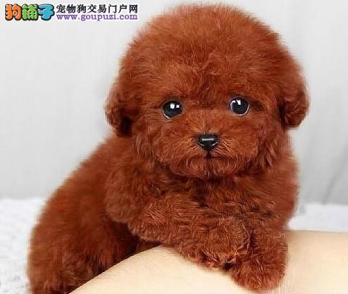 春节特价出售淄博泰迪犬 全部实物拍摄 放心选购4