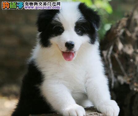 三通七白到位的淄博边境牧羊犬热卖中 可随时上门看狗