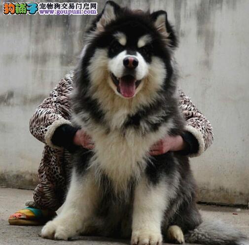 阿拉斯加雪橇犬宝宝爱犬小屋