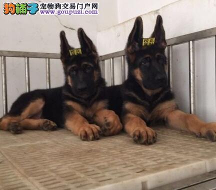 怀化德国黑背疫苗驱虫已做好精品德牧有售来场看狗父母