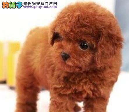 西安自家繁殖高品质各种颜色贵宾犬宝宝 欲购从速2