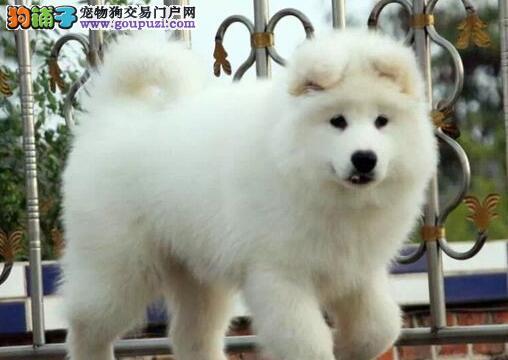 重庆 售精品萨摩耶幼犬 撒手没微笑天使母狗幼犬