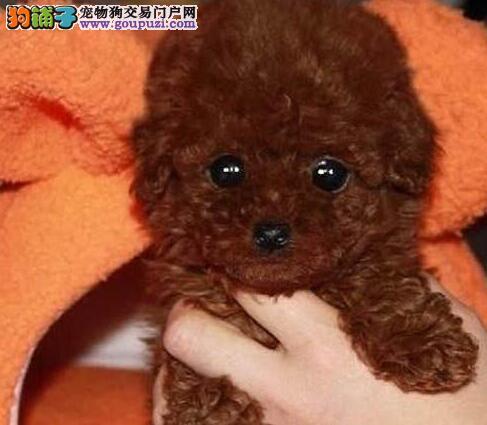 西安自家繁殖高品质各种颜色贵宾犬宝宝 欲购从速3