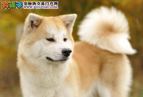 西宁繁殖基地出售忠诚的秋田犬 建议大家不要错过